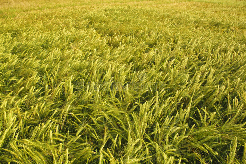Download Barley Field With Golden Color In Sunset. Stock Images - Image: 21020994