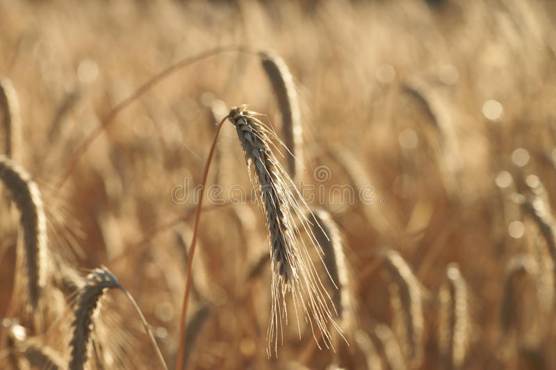 Download Barley field stock image. Image of grain, ground, nature - 39504651