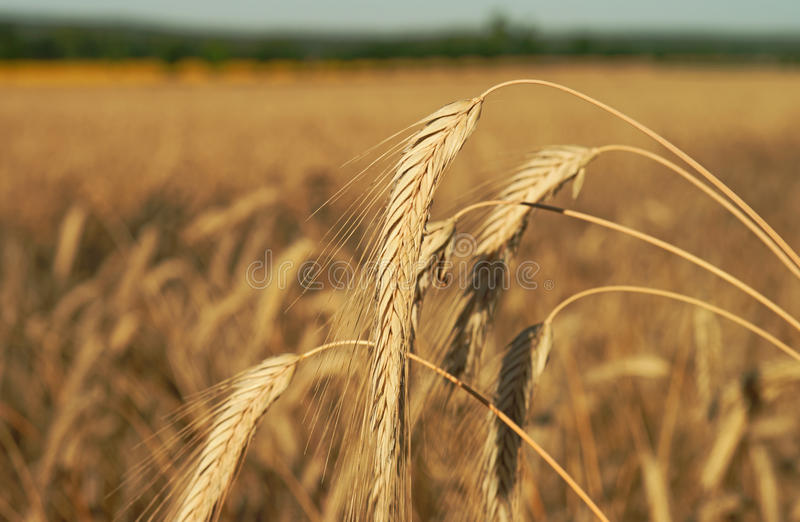 Download Barley field stock image. Image of fertile, agricultural - 39504635
