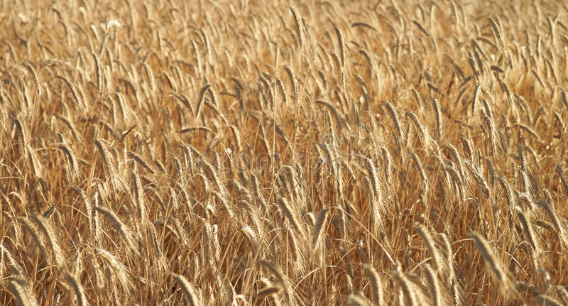 Download Barley field stock photo. Image of farming, fertile, agriculture - 39504686