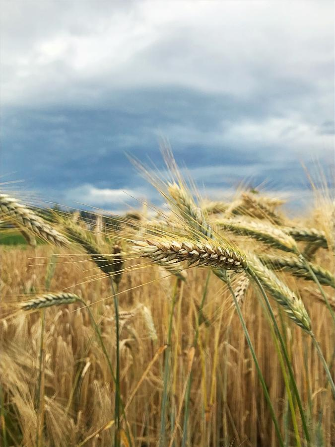 Barley field. A grain is a small, hard, dry seed, with or without an attached hull or fruit layer, harvested for human or animal consumption.[1] A grain crop is royalty free stock photography