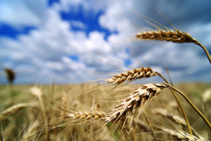 Barley field in June. Barley with ears ready for harvesting. Barley Hordeum vulgare, a member of the grass family, is a major cereal grain grown in temperate royalty free stock photos