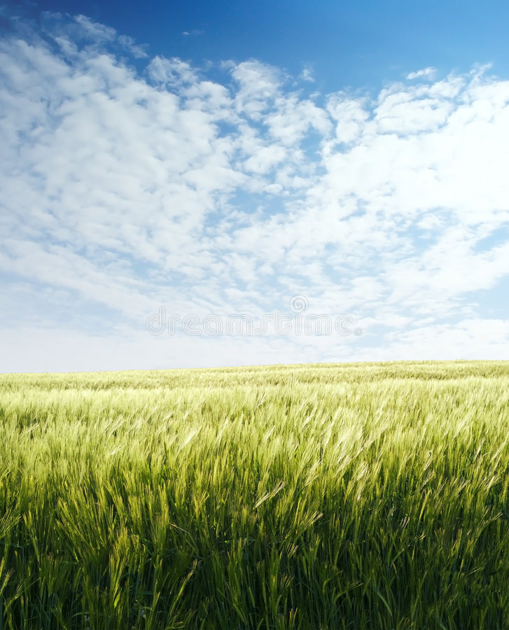 Barley field over blue sky. In evening 2 stock image