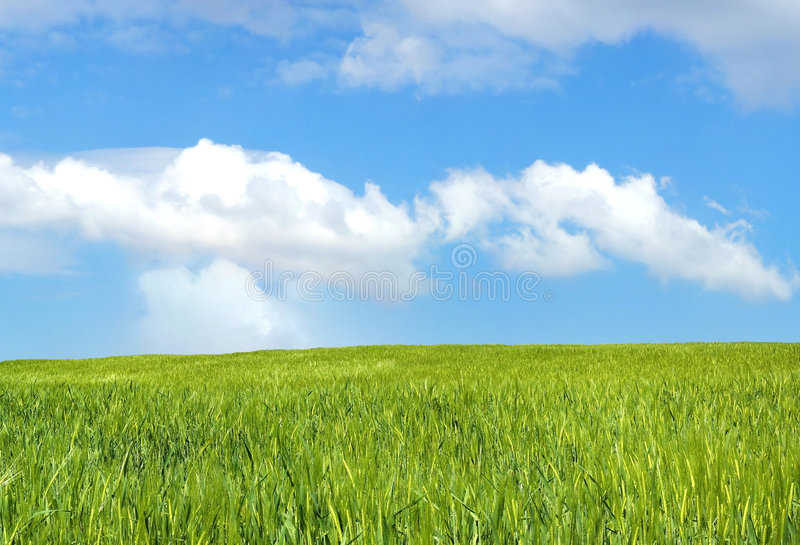 Download Barley field over blue sky stock image. Image of country - 2338779