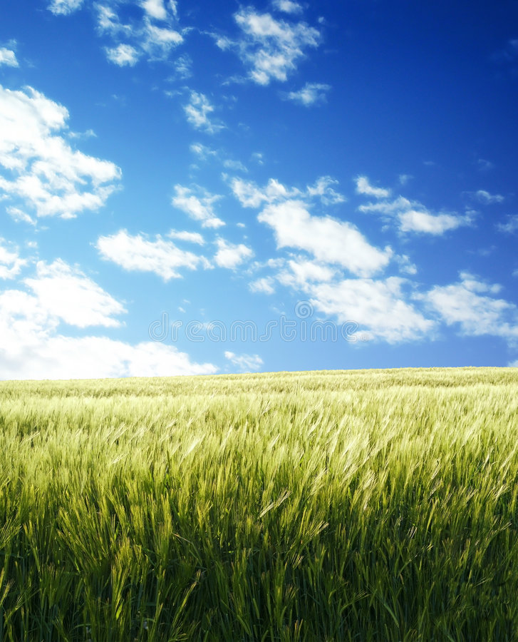 Barley field over blue sky. In evening 4 royalty free stock photography