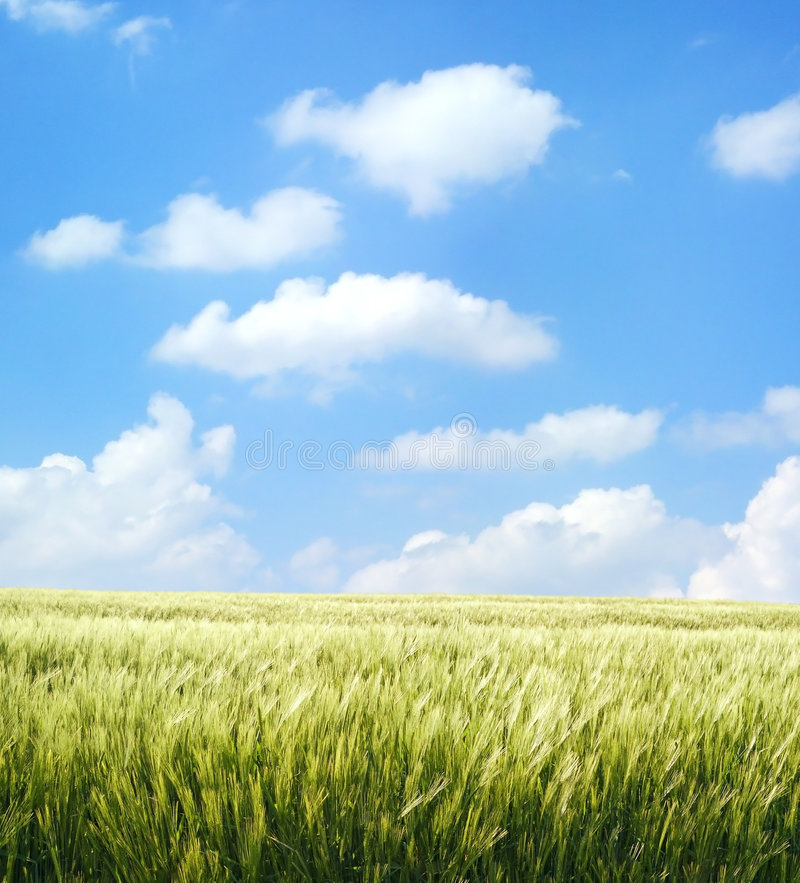 Barley field over blue sky. Barley field over beautiful blue sky royalty free stock photography