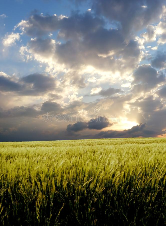 Barley field during stormy day royalty free stock photos
