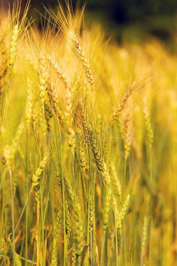 Barley Field in Sunset royalty free stock image