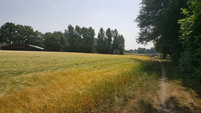 Barley in a field stock photography