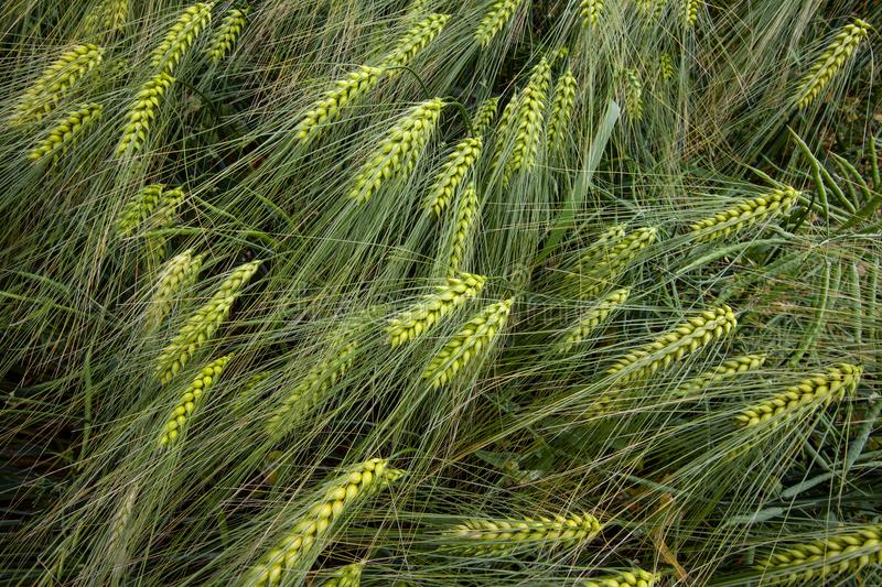 Barley food grass family. Barley Hordeum vulgare, a member of the grass family royalty free stock photos