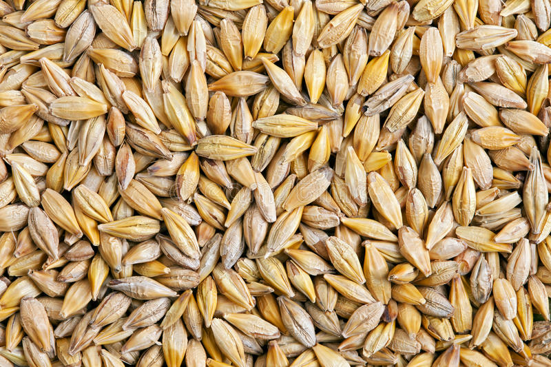 Barley grain (Hordeum). Barley is a major cereal grain, a member of the grass family stock image