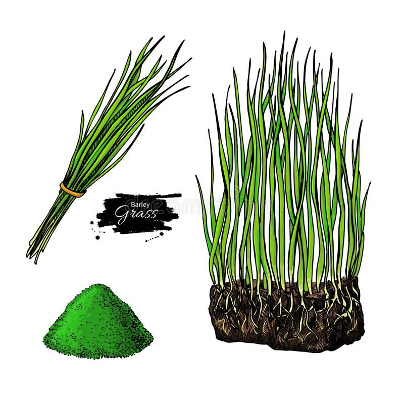 Free Barley Grass And Powder Vector Superfood Drawing. Isolated Hand Drawn Illustration Royalty Free Stock Photography - 170016557