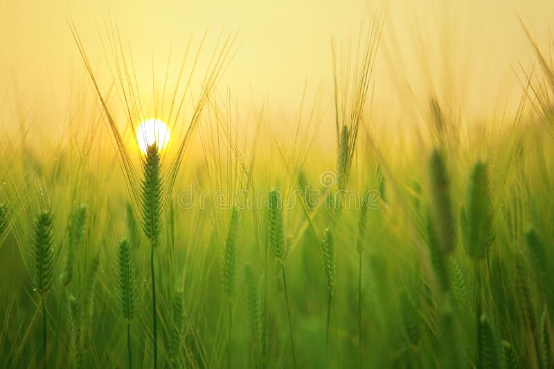 Barley Grass At Sunrise Free Public Domain Cc0 Image