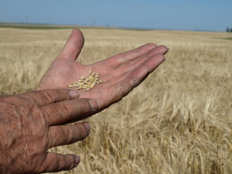 Barley in hand. royalty free stock photos