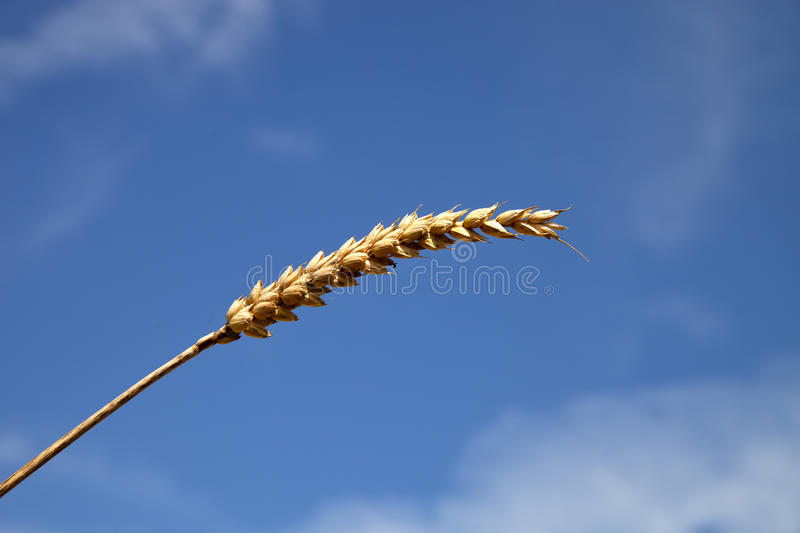 Download Barley head stock photo. Image of golden, food, meal - 26094580
