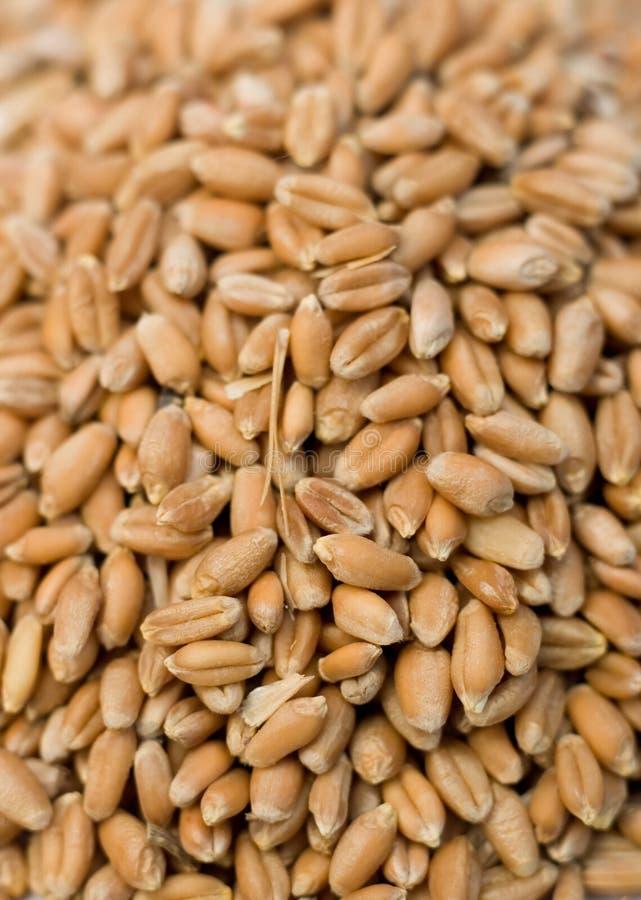 Barley Hordeum vulgare stock photos