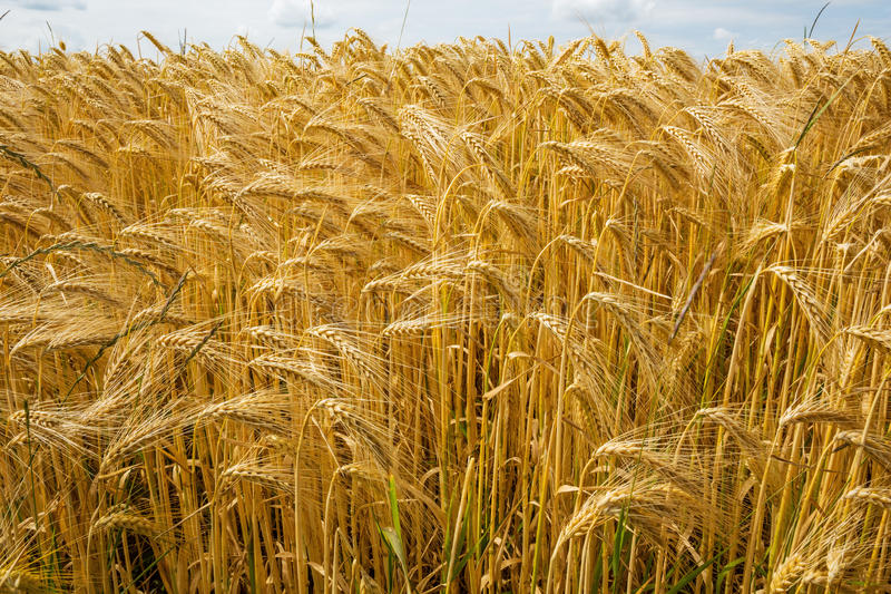 Barley from a low perspective. GVP1461 royalty free stock image