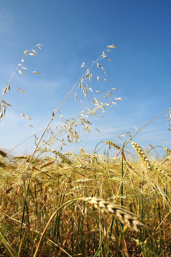 Download Barley and oat vertical stock image. Image of beautiful - 15348713