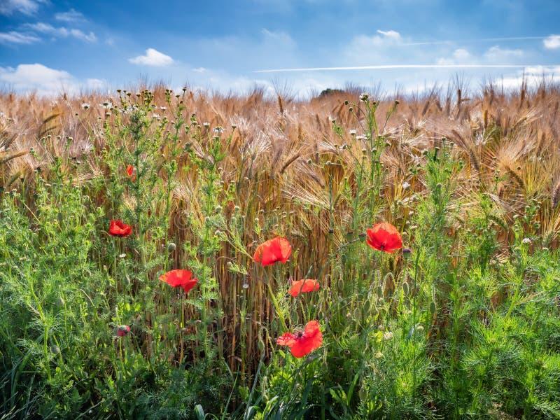 Barley and poppies in a Danish field. Barley and poppies in a Danish  field royalty free stock image
