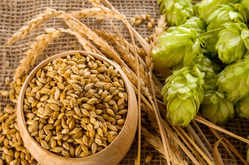 Barley raw grains in wooden bowl, wheat ears and hops green cones on burlap background as ingredient for beer brewing, close-up. Barley raw grains in wooden bowl stock photo