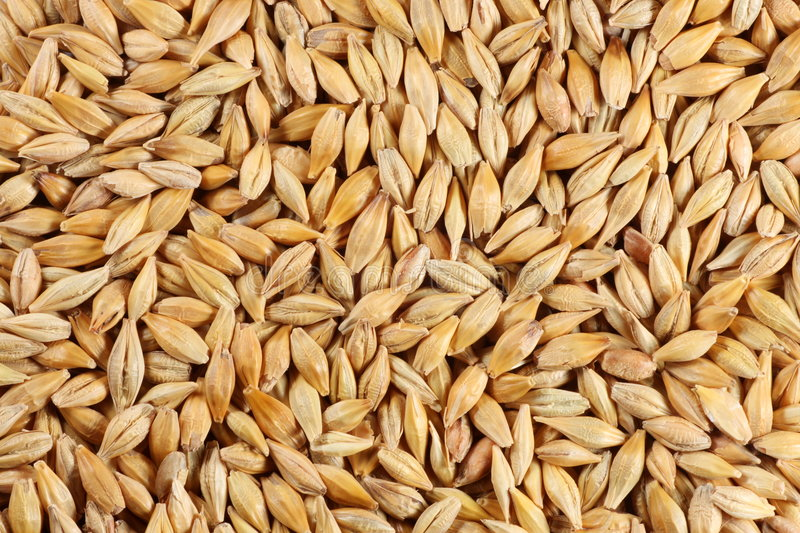 Barley seed close-up royalty free stock image