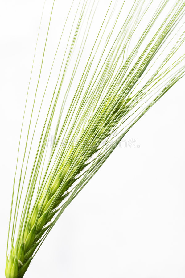 Download Barley Seed Head Royalty Free Stock Images - Image: 2415639