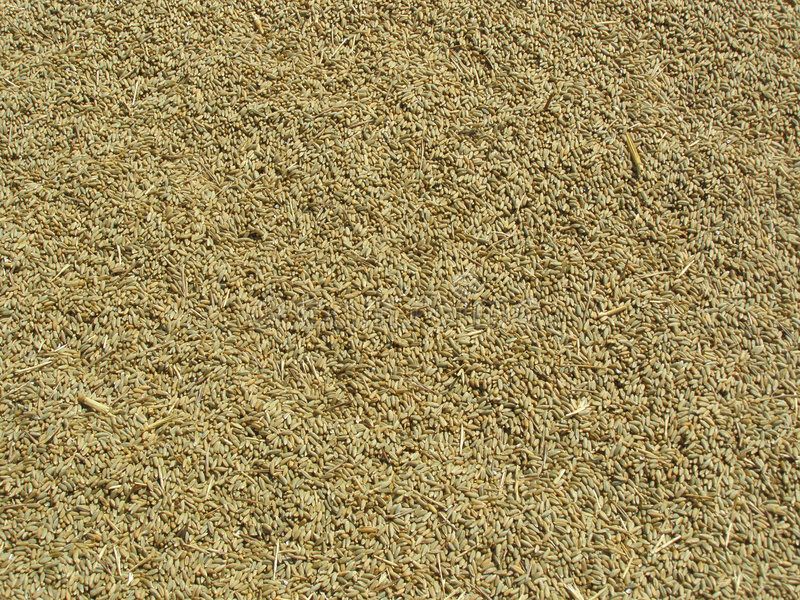 Download Barley Seeds Background stock image. Image of feed, continuous - 6112069