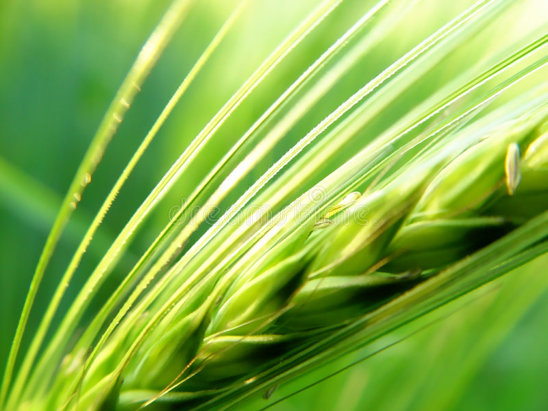 barley spike royalty free stock photo