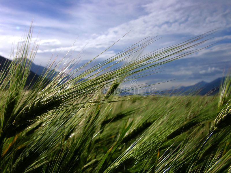 Barley spike on field stock image