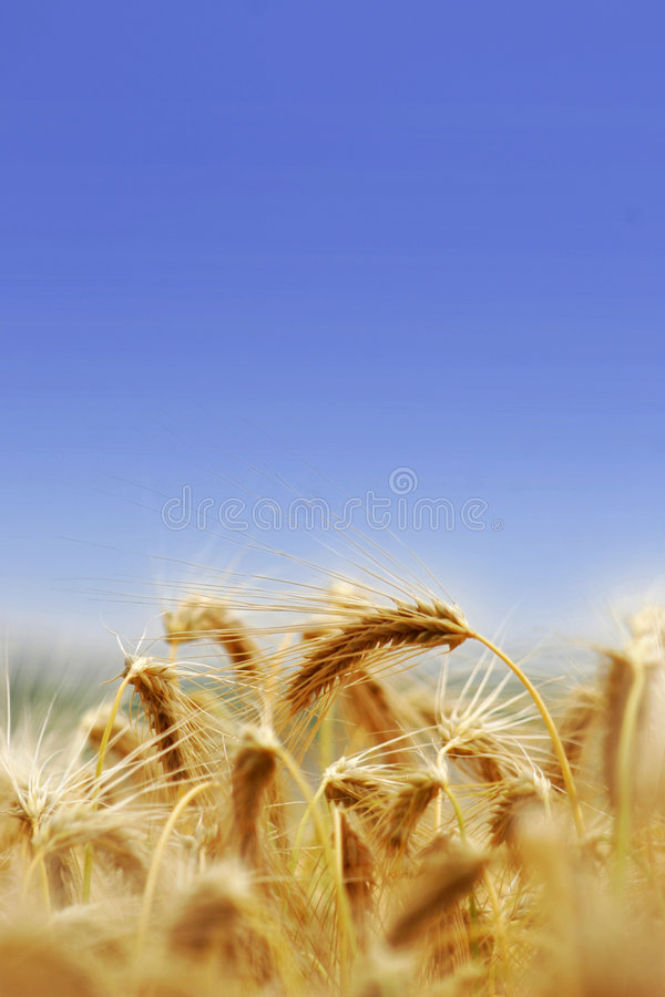 Barley Tufts Stock Photography