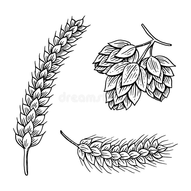 Barley and wheat, malt and hops. Beer of oktoberfest. engraved in ink hand drawn in old sketch and vintage style for web royalty free illustration
