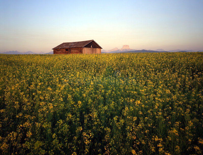 Download Barn & Canola Field stock photo. Image of yellow, travel - 467138