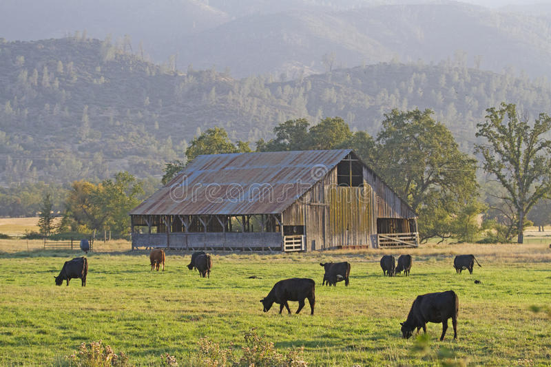 Barn & Cattle. Northern California, Colusa County. Coast range valley, Mendocino National Forest. Classic barn and grazing Black Angus cattle stock images