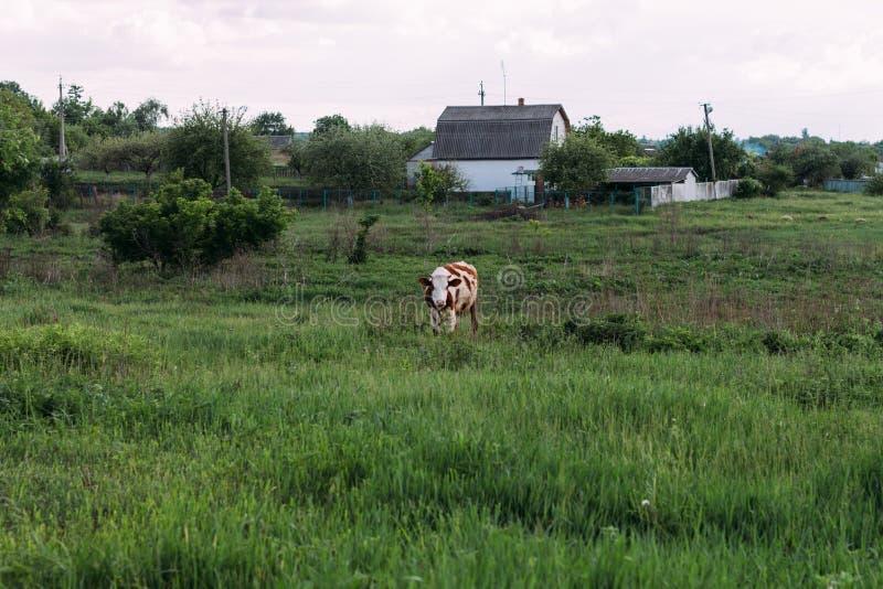 barn för koliggande en en brunt- och vitko står på fältet royaltyfri foto