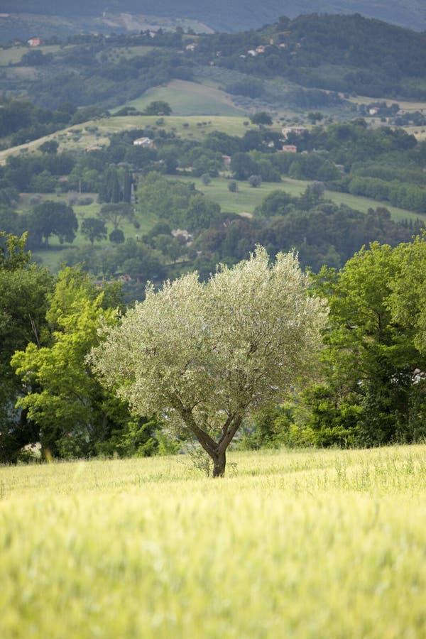 barn för olive tree royaltyfria bilder