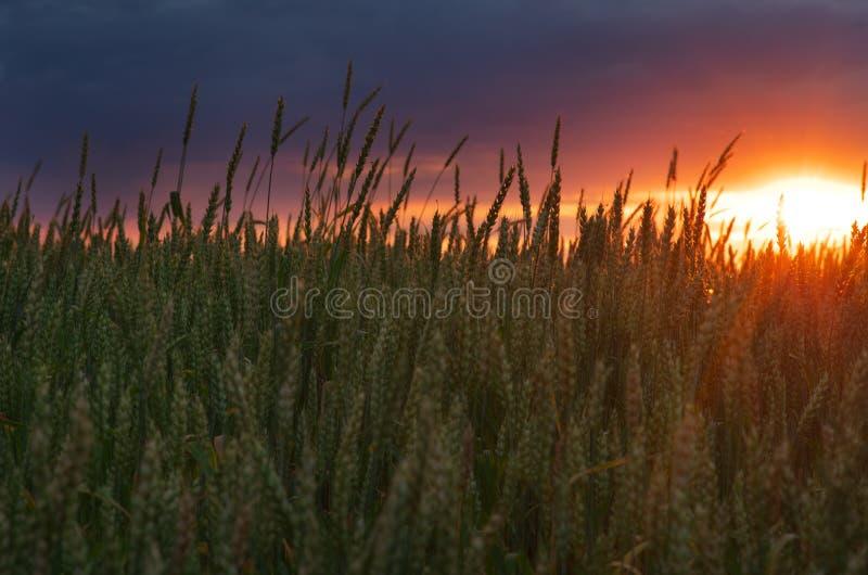barn för vete för solnedgång för aftonfältgreen royaltyfri foto