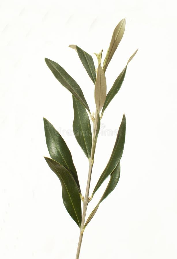 Den olivgröna treen förgrena sig royaltyfri bild