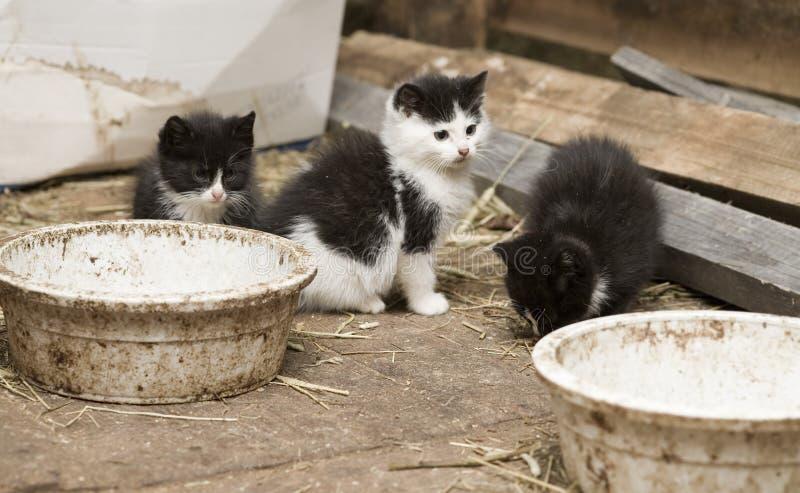 Barn Kittens Royalty Free Stock Image