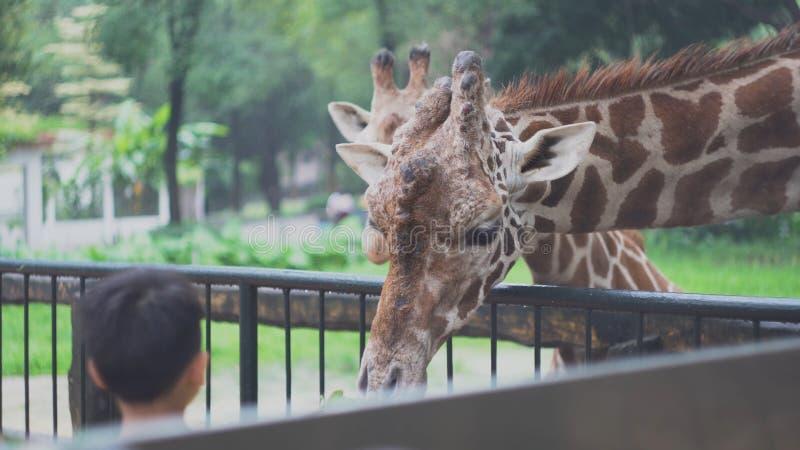 Barn matar giraff med sidor på zoo medel Härliga gulliga giraff äter grönsakmat med händer av barn arkivbilder