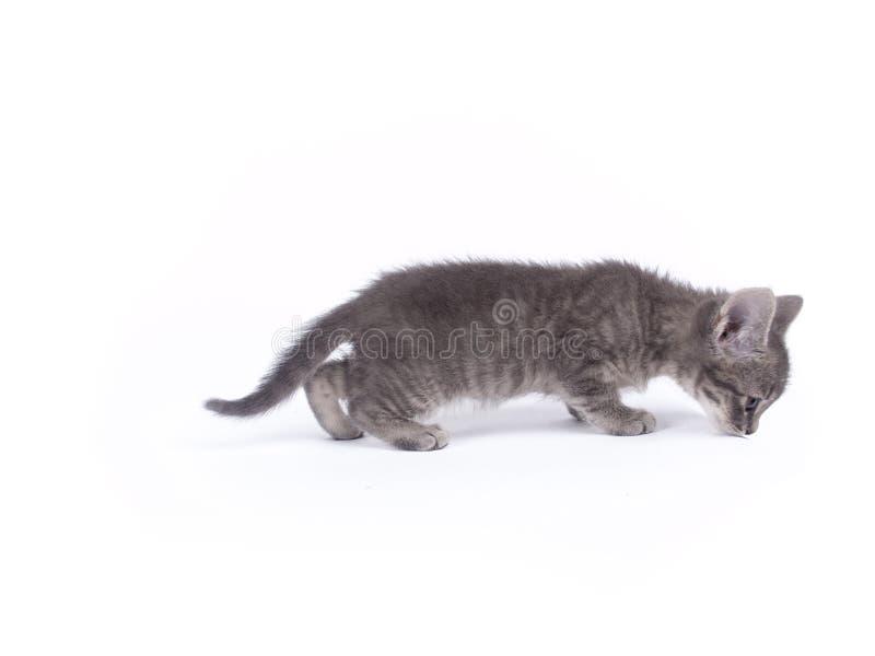 Barn nio veckor gammal grå kattunge royaltyfria bilder