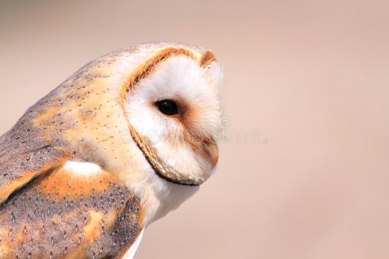 Download Barn owl stock photo. Image of their, predator, native - 10462812