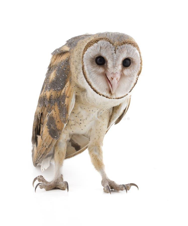 Free Barn Owl Stock Photography - 104767692