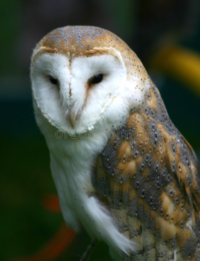 Free Barn Owl Royalty Free Stock Photography - 108277