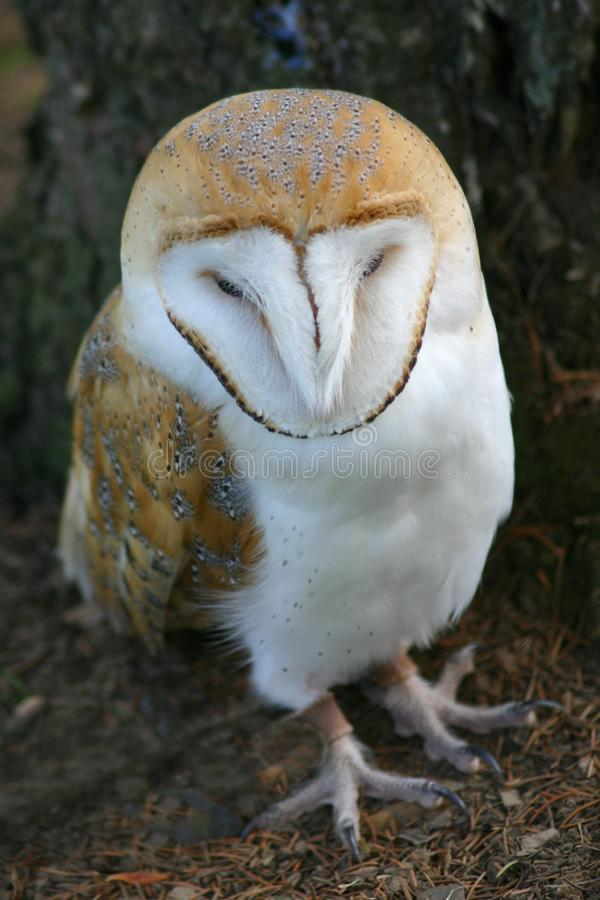 Download Barn Owl stock photo. Image of bill, close, eyes, intelligent - 1112316