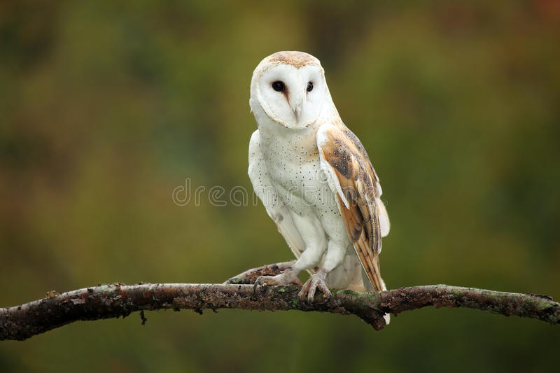 Barn Owl royalty free stock photos