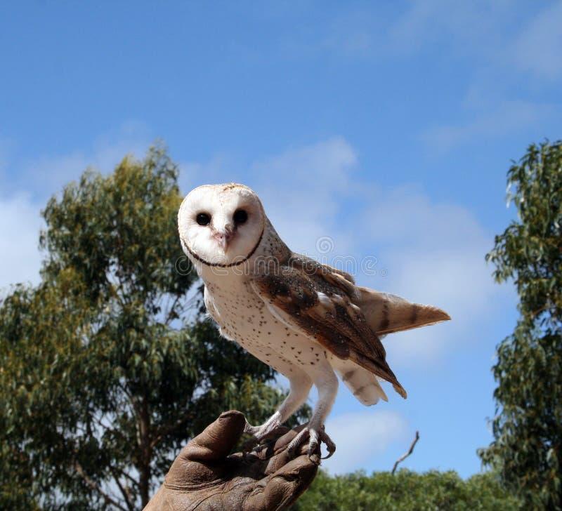 Download Barn owl stock photo. Image of prey, wildlife, beak, nature - 13752550