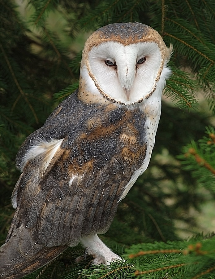 Barn Owl. A Barn Owl in a tree royalty free stock images