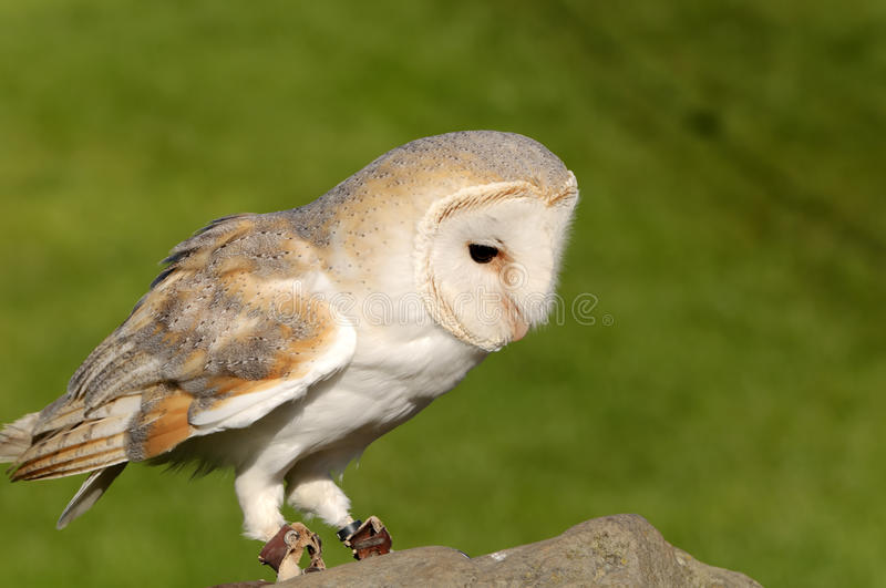 Download Barn Owl stock image. Image of majestic, animal, bird - 17013747