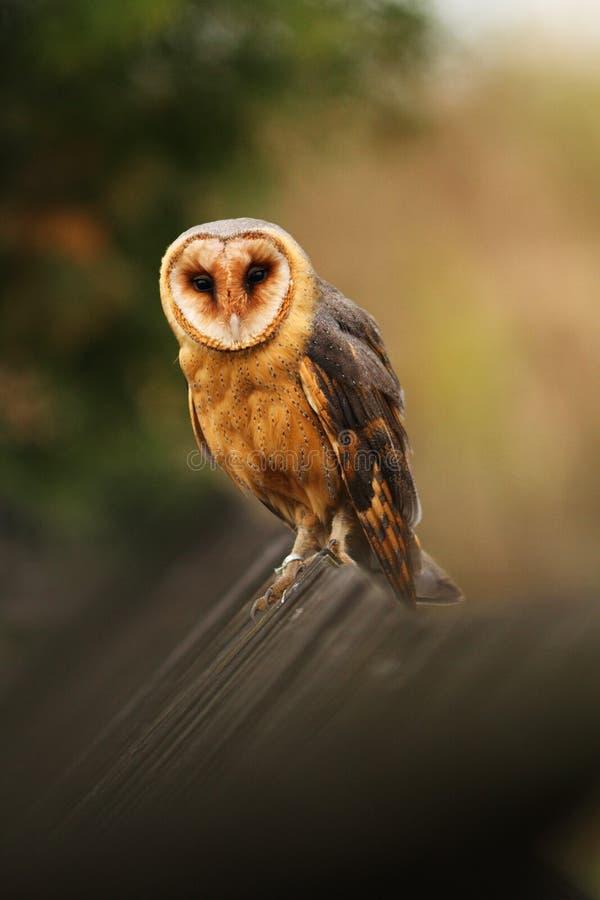 Free Barn Owl Royalty Free Stock Photo - 19177405