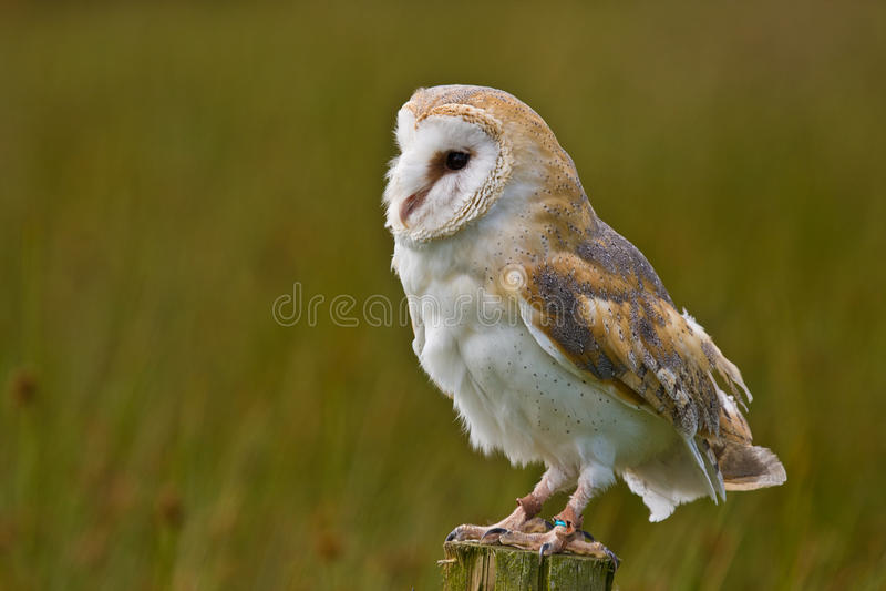 Download Barn Owl stock photo. Image of horizontal, post, predator - 20031780